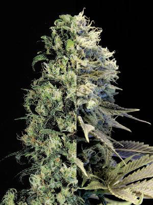 Fast Flowering Feminized Combo Pack