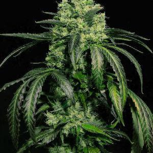Doctor Green Feminised Seeds