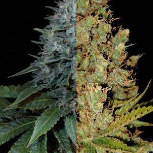 Autoflower Sativa Feminized Combo Pack