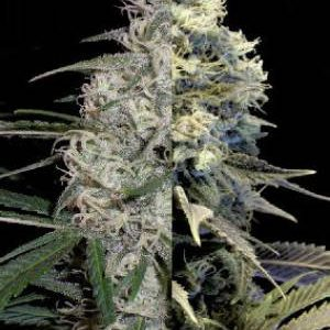 Autoflower Indica Feminized Combo Pack