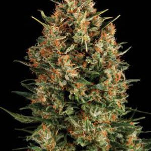 Borderliner Extreme Feminised Seeds