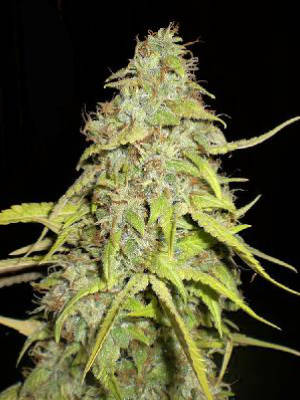 Chocolope Feminised Seeds