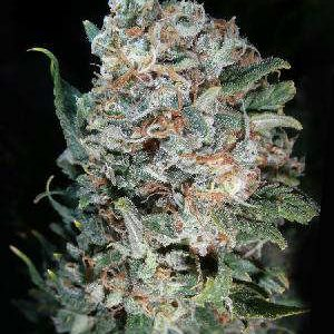 Pineapple Kush Feminized