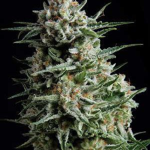 Super Skunk Feminized